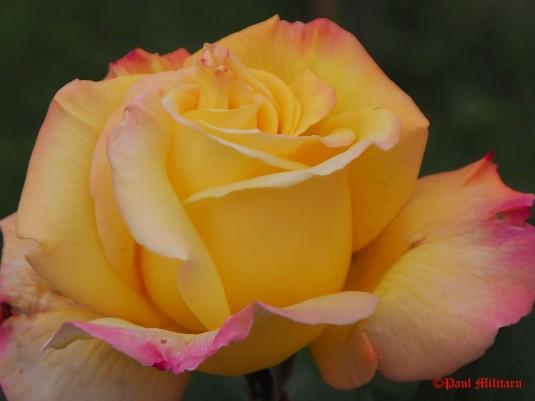 pink-yellow rose